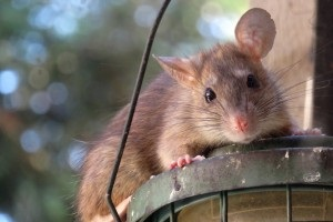 Rat Control, Pest Control in Warlingham, Chelsham, CR6. Call Now 020 8166 9746