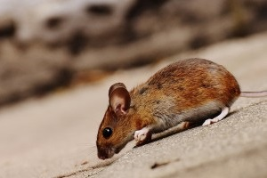 Mice Exterminator, Pest Control in Warlingham, Chelsham, CR6. Call Now 020 8166 9746