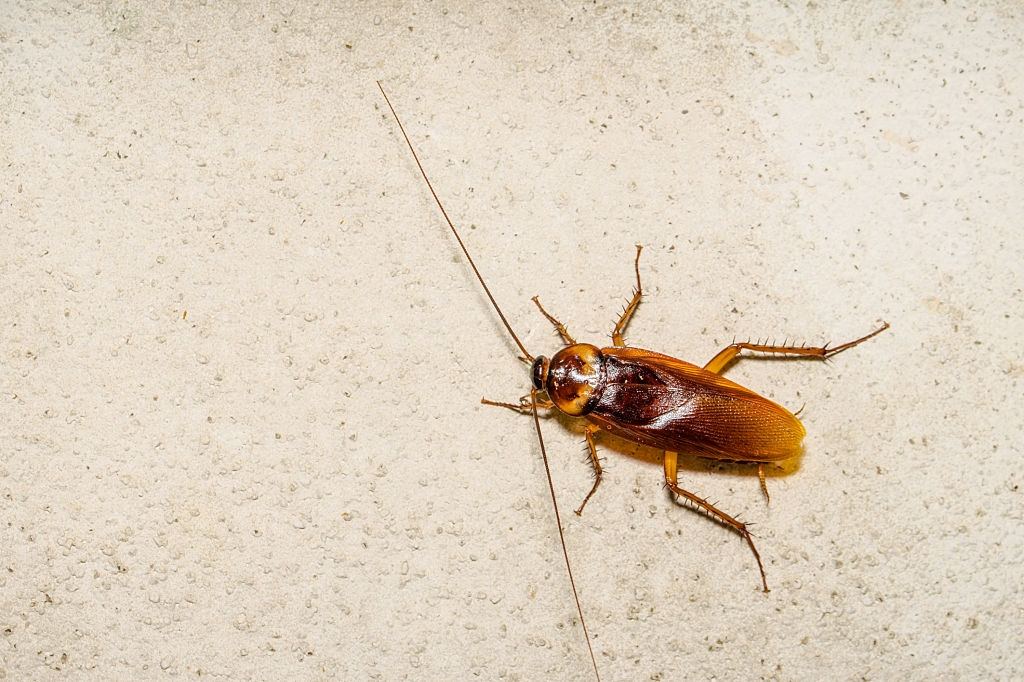 Cockroach Control, Pest Control in Warlingham, Chelsham, CR6. Call Now 020 8166 9746